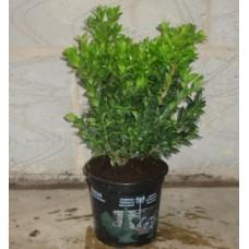 Buxus 20/25cm (1.3L Pot)Plants