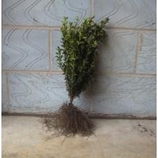 Buxus 30/40cm Bare RootPlants