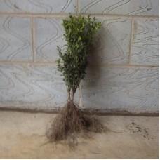 Buxus 20/30cm Bare RootPlants