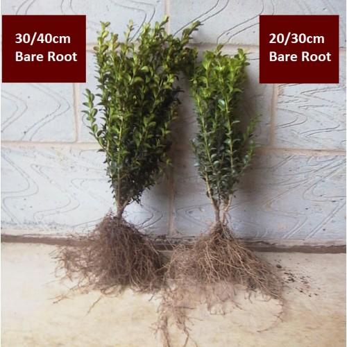 Buxus 20 30cm Bare Rootbare Root