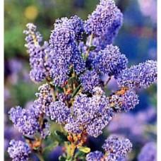 Ceanothus Autumnal Blue (3 Litre)Ceanothus