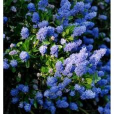Ceanothus Blue Jeans (3 Litre)Ceanothus