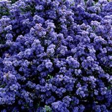 Ceanothus Puget Blue (3 Litre)Ceanothus