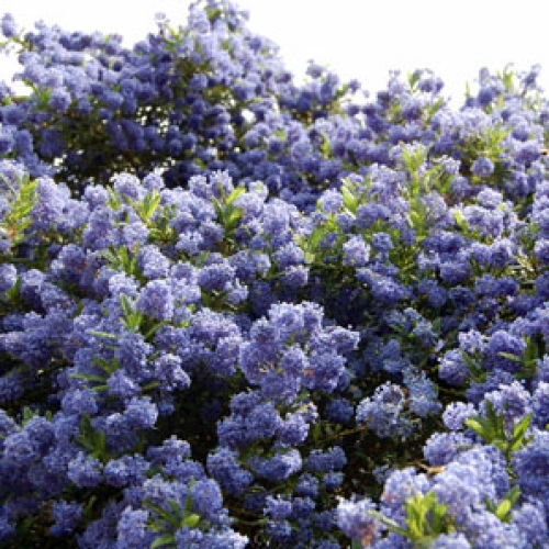 ceanothus trewithen blue 3 litre ceanothus. Black Bedroom Furniture Sets. Home Design Ideas