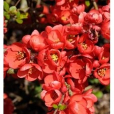 Chaenomeles Japonica Orange Beauty (3 Litre)Chaenomeles