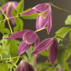 Clematis Aplina Ruby (3 Litre)Clematis