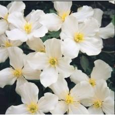 Clematis Montana Grandiflora (3 Litre)Clematis