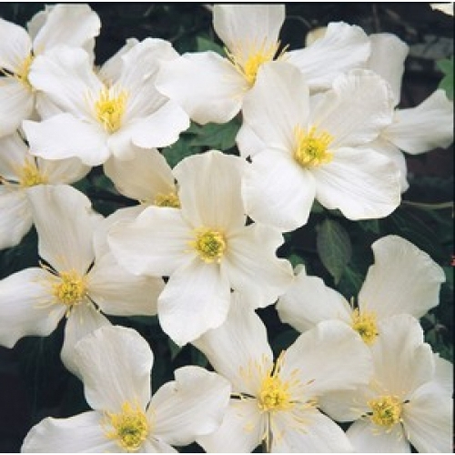 clematis montana grandiflora 3 litre clematis. Black Bedroom Furniture Sets. Home Design Ideas