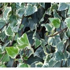 Hedera Canariensis Variegata (3 Litre)Hedera