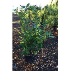 PALLET DEAL - 100 x Prunus Rotundifolia Container Grown 60/80cm (4.5L)Plants