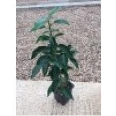 Prunus Lusitanica  myrtifolia   20/30cm (P9)Plants