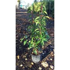 Prunus Lusitanica  myrtifolia  40/50cm (2.5L)Plants