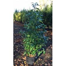 Prunus Lusitanica  myrtifolia  60/80cm (4.5L)Plants