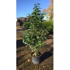 Prunus Lusitanica  myrtifolia (15L)Plants