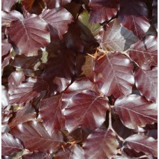 Copper Beech 60/90cm Bare RootPlants