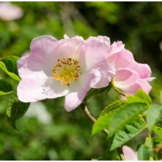 Dog Rose - Rosa Canina 40/60cm Bare Root