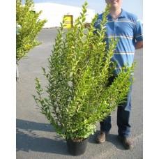 Ligustrum Aureum 125/150cm 10LPlants