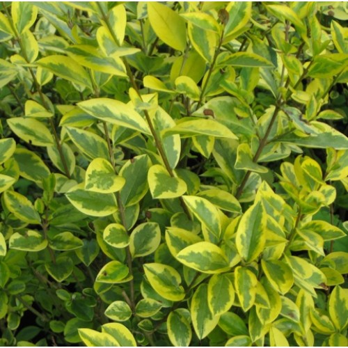 how to cut a privet hedge