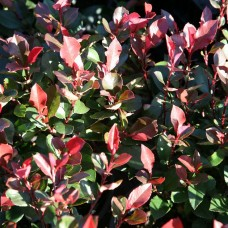 Photinia Red Robin 125/150cm 15LPlants