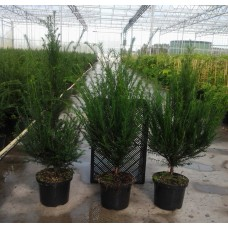 Yew Container Grown 80/100cm (4.5 Litre)Plants
