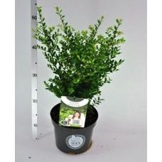 ilex crenata dark green 20 30cm 2 litreplants. Black Bedroom Furniture Sets. Home Design Ideas