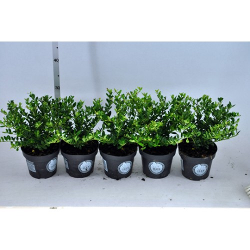 ilex crenata dark green 20 25cm 1 4lplants. Black Bedroom Furniture Sets. Home Design Ideas