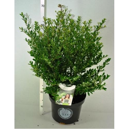 ilex crenata dark green 40 60cm 5 litreplants. Black Bedroom Furniture Sets. Home Design Ideas