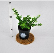 Ilex Crenata Dark Green P9Plants