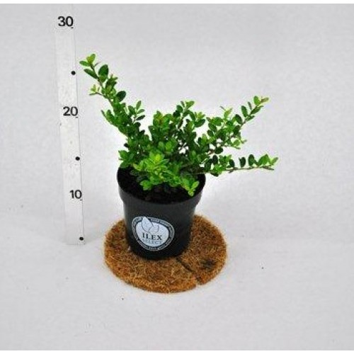 ilex crenata dark green p9plants. Black Bedroom Furniture Sets. Home Design Ideas