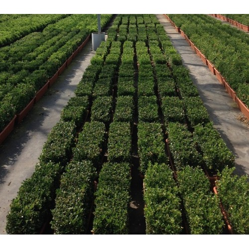 ilex crenata dark green 60cm trough. Black Bedroom Furniture Sets. Home Design Ideas