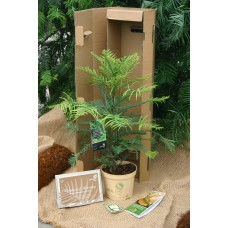 Wollemi Pine 45/60cm 3ltr