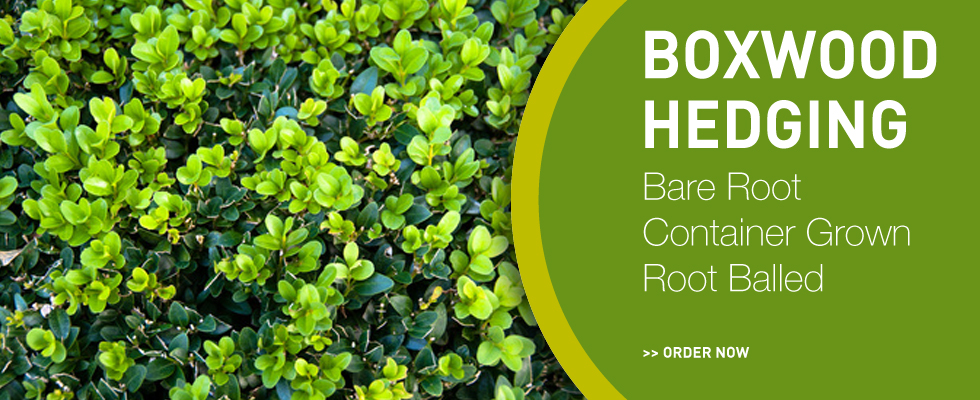 Quality Boxwood Hedging