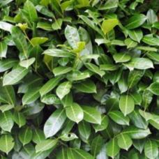 PALLET DEAL - 150 x Prunus Rotundifolia Container Grown 40/50cm (2.5L)Plants