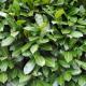 PALLET DEAL - 150 x Prunus Rotundifolia Container Grown 40/50cm (2.5L)