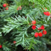 Yew Container Grown 30/45cm (3 Litre)Plants